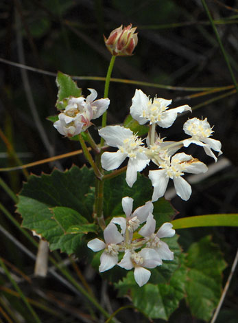 Xanthosia rotundifolia close